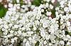 мелкие белые цветочки - Стоковое фото. мелкие белые цветочки - Стоковое...