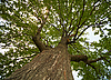 ID 3147505 | Krone einer alten Eiche | Foto mit hoher Auflösung | CLIPARTO