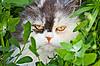 ID 3148839 | Straszna morda puszysty kot dom | Foto stockowe wysokiej rozdzielczości | KLIPARTO