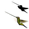 Vektor Cliparts: Hummingbird