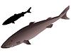 s Grönlandhai