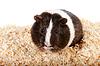 기니 돼지 | Stock Foto