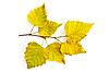 ID 3183218 | Gelbe Birkenblätter auf Zweig | Foto mit hoher Auflösung | CLIPARTO