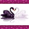 Zwei anmutige Schwäne in der Liebe