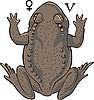 Żaba | Stock Vector Graphics