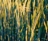 Green barley ears | Stock Foto