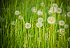 Fresh spring green grass and dandelions | Stock Foto