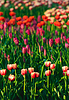 Red and Yellow Tulips in A Garden | Stock Foto