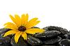 Blume auf Steinen | Stock Foto