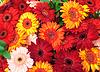 활기찬 다채로운 데이지 gerbera 꽃 | Stock Foto