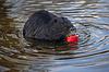 海狸鼠和苹果 | 免版税照片