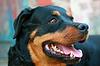 Rasowy pies | Stock Foto