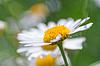 Grünes Gras und Gänseblümchen blüht in der Natur | Stock Foto