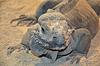 Iguana cabeza de lagarto en el zoológico | Foto de stock