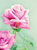 Piękna różowa róża | Stock Foto