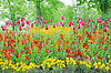 Tulipanes, florecen en el jardín. Coloridas flores | Foto de stock
