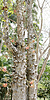 Árbol bala de cañón (Couroupita guianensis) | Foto de stock