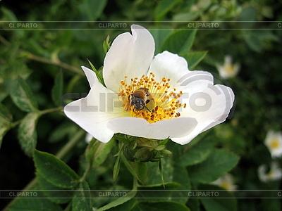 Pszczoła na białym kwiatem briar | Foto stockowe wysokiej rozdzielczości |ID 3010658