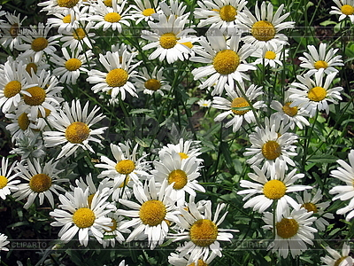 다양 한 흰색 chamomiles와 배경 | 높은 해상도 사진 |ID 3010659