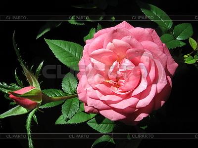Rosige Rosenblume | Foto mit hoher Auflösung |ID 3010667