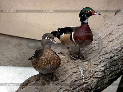 Zwei bunte Enten | Foto mit hoher Auflösung |ID 3010981
