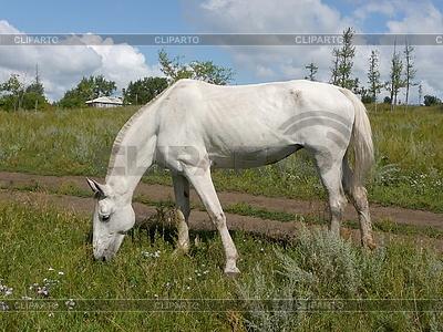 Weißes Pferd | Foto mit hoher Auflösung |ID 3011012