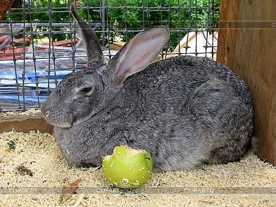 Kaninchen mit Apfel | Foto mit hoher Auflösung |ID 3011019