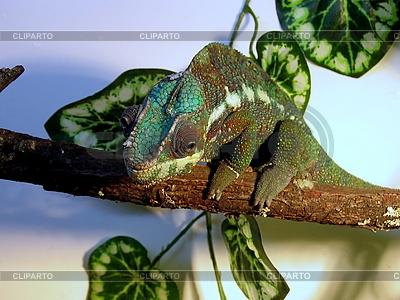 Kameleon | Foto stockowe wysokiej rozdzielczości |ID 3011027