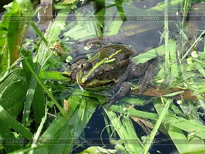 Zielona żaba w stawie | Foto stockowe wysokiej rozdzielczości |ID 3011031
