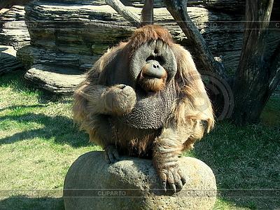 Wściekły orangutan | Foto stockowe wysokiej rozdzielczości |ID 3011041