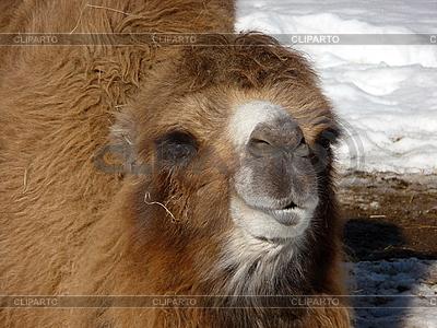 Kamel  | Foto mit hoher Auflösung |ID 3011058