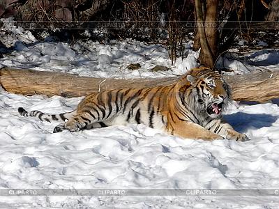 Tiger im Schnee | Foto mit hoher Auflösung |ID 3011070