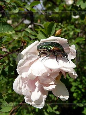 Beetle na białym kwiatem | Foto stockowe wysokiej rozdzielczości |ID 3011831