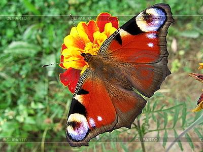 Tagpfauenauge Schmetterling auf Blume | Foto mit hoher Auflösung |ID 3011874