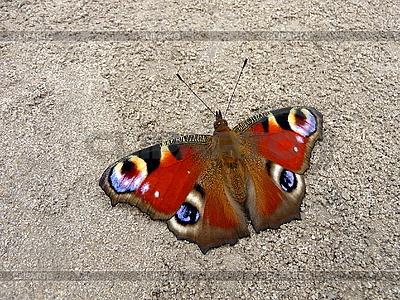 Peacock motyl na ziemi | Foto stockowe wysokiej rozdzielczości |ID 3011876