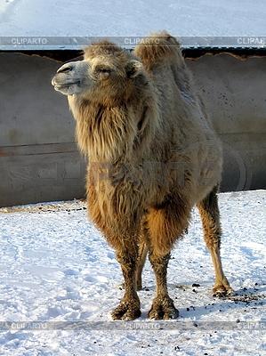 Kamel auf Schnee | Foto mit hoher Auflösung |ID 3011923