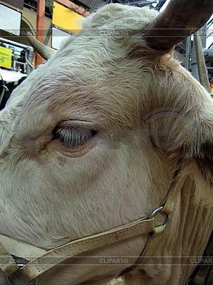 Kopf der Kuh | Foto mit hoher Auflösung |ID 3011933