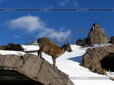 Ziege auf Fels | Foto mit hoher Auflösung |ID 3011956
