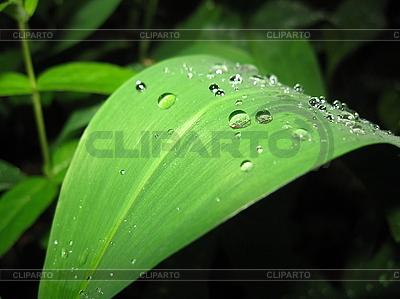 Зеленый лист колокольчика с каплями воды | Фото большого размера |ID 3012318