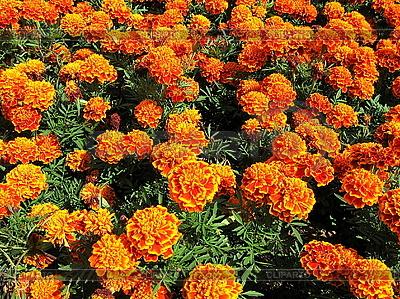 Hintergrund der orange Ringelblumen | Foto mit hoher Auflösung |ID 3012352
