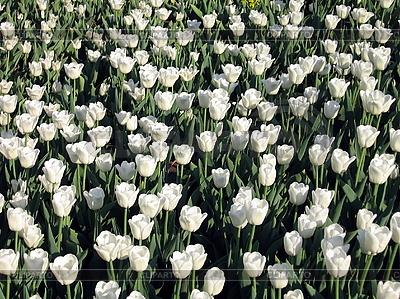 Weiße Tulpen | Foto mit hoher Auflösung |ID 3012375