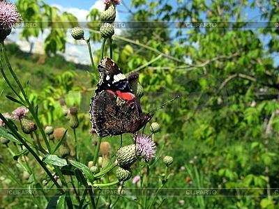 Admiral-Schmetterling auf der Blume | Foto mit hoher Auflösung |ID 3012447