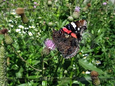 Admiral-Schmetterling auf der Blume | Foto mit hoher Auflösung |ID 3012451