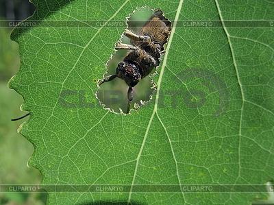 Милый жук глядит в отверстие листа | Фото большого размера |ID 3012461