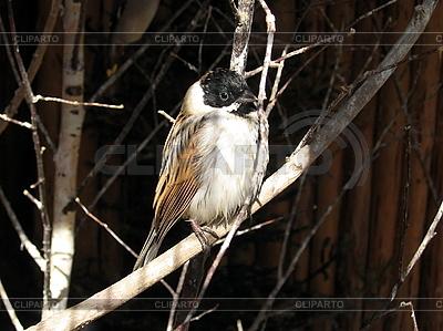 Птица овсянка | Фото большого размера |ID 3012478