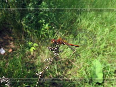 Dragonfly w polu | Foto stockowe wysokiej rozdzielczości |ID 3012496