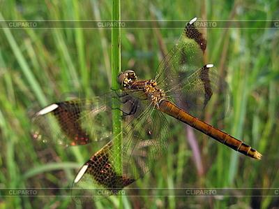 Große Libelle | Foto mit hoher Auflösung |ID 3012500
