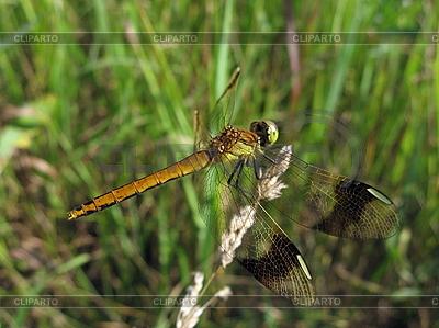 Große Libelle | Foto mit hoher Auflösung |ID 3012537