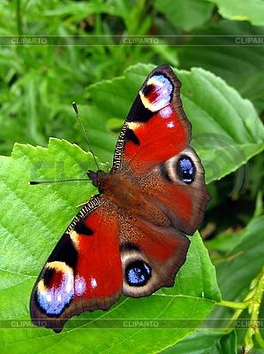 Peacock motyl na liściu | Foto stockowe wysokiej rozdzielczości |ID 3012565