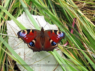 Peacock motyl na liściu | Foto stockowe wysokiej rozdzielczości |ID 3012567